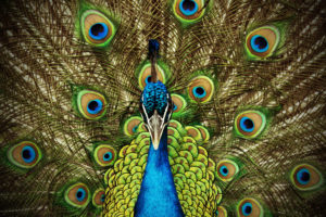 Peacock – getting attention